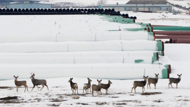 Deer gather at a depot used to store pipes for Transcanada Corp's planned Keystone XL oil pipeline