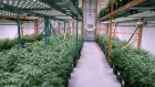 OrganiGram Moncton New Brunswick marijuana cannabis pot weed plants