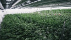 Tweed marijuana growth greenhouse Canopy Growth