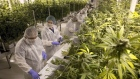 Production staff harvest marijuana plants inside the flowering room at United Greeneries
