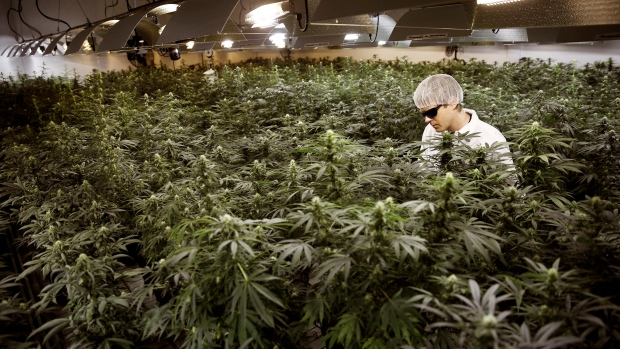 FILE PHOTO: Master Grower Douglas waters marijuana plants in a growing room at Tweed Marijuana Inc in Smith's Falls