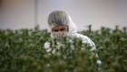 Flowering marijuana plants are inspected by an employee at Tweed (now Canopy Growth) in Smiths Falls