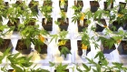 Cannabis seedlings at the Aurora Cannabis facility in Montreal marijuana plants weed
